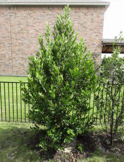 Cherry Laurel planted by Treeland Nursery.