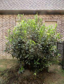 Evergreen Chinese Photenia installed in a backyard by Treeland Nursery.