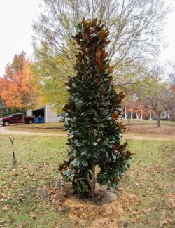 Evergreen DD Blanchard Magnolia planted by Treeland Nursery.