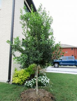 Treeform Eagleston Holly planted by Treeland Nursery.