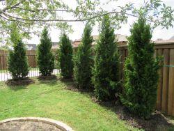 Brodie Eastern Red Cedar planted as a privacy screen by Treeland Nursery.