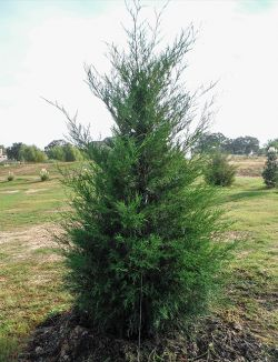 Eastern Red Cedar planted by Treeland Nursery.