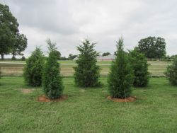 Eastern Red Cedars planted for privacy screening.