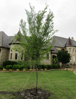 Lacebark Elm tree installed in a frontyard by Treeland Nursery.