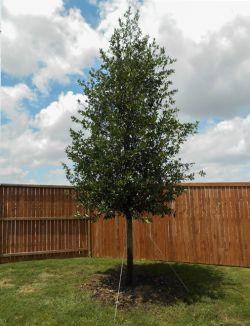 Live Oak planted in a backyard by Treeland Nursery.