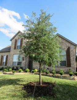 Beautiful Evergreen Live Oak Tree planted in a frontyard.