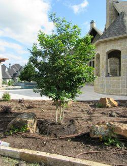 Beautiful Muskogee Crape Myrtle planted by Treeland Nursery.