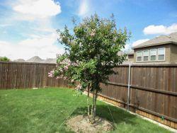 Flowering Muskogee Crape Myrtle planted by Treeland Nursery.