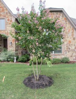 Muskogee Crape Myrtle planted in the Summer by Treeland Nursery.