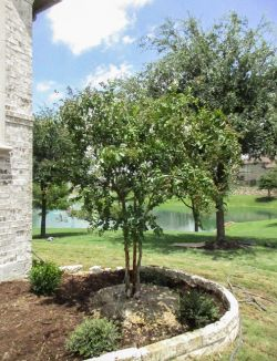 Natchez Crape Myrtle planted in a backyard by Treeland Nursery.