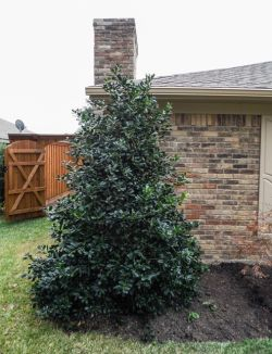 Evergreen Nellie R. Stevens Holly tree planted by Treeland Nursery.