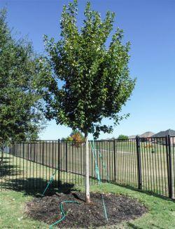 October Glory Maple tree installed in a backyard by Treeland Nursery.