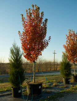 Stunning Fall color on an October Glory Maple at Treeland Nursery.