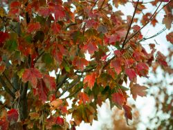 October Glory Maple leaves in the Fall.