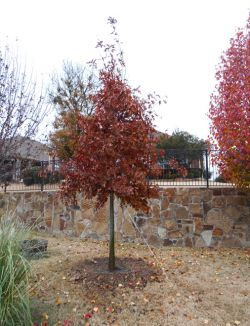 Bright red fall coloring on Red Oak planted by Treeland Nursery.