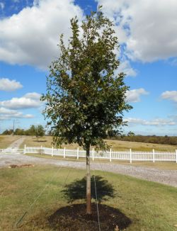 Red Oak tree installed by Treeland Nursery.