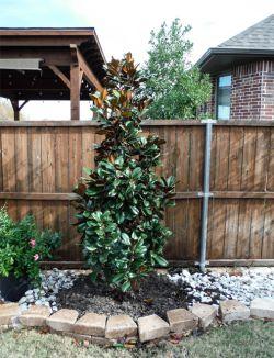 Teddy Bear Magnolia planted along a backyard fence by Treeland Nursery.