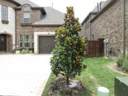 Evergreen Teddy Bear Magnolia planted by a driveway by Treeland Nursery.