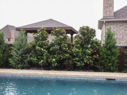 Teddy Bear Magnolias planted along a pool for privacy screening.