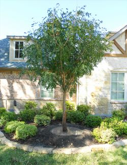 Chinese Pistachio tree planted in a frontyard flowerbed by Treeland Nursery.