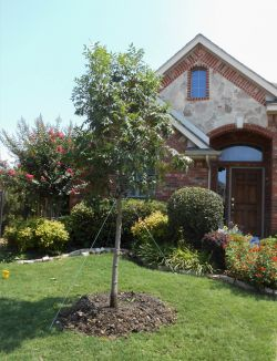 Chinese Pistachio tree installed in a frontyard by Treeland Nursery.