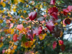 Cleveland Select Pear leaves with Fall at Treeland Nursery.