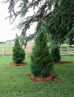 Eastern Red Cedars planted by Treeland Nursery.