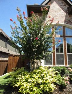Beautiful Tuscarora Crape Myrtle planted by Treeland Nursery.