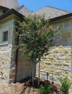 Tuscarora Crape Myrtle planted in a frontyard by Treeland Nursery.