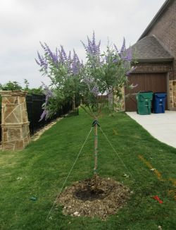 Blooming Vitex tree installed by Treeland Nursery.
