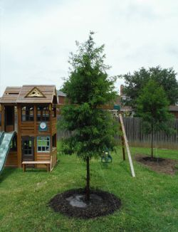 Bald Cypress trees planted in a backyard around a playset.