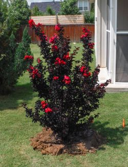 Black Diamond Crape Myrtle with red flowers. Installed by Treeland Nursery.