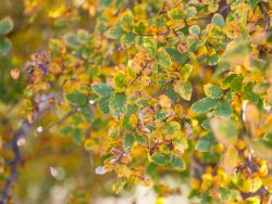 Cedar Elm Tree leaves with Fall color.