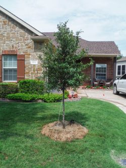 Native Cedar Elm tree planted by Treeland Nursery.