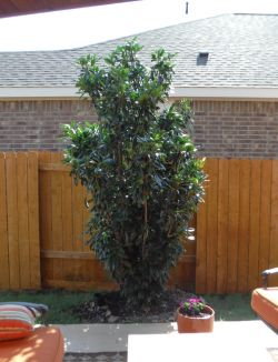 Chinese Photenia 'Green Giant' planted along a fence in a backyard.