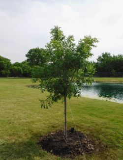 Chinese Pistachio planted by a pond by Treeland Nursery.