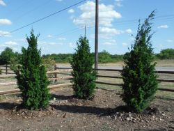 Eastern Red Cedar 'Brodies' planted along a fence to hide some telephone poles.