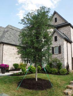 Live Oak installed by Treeland Nursery.