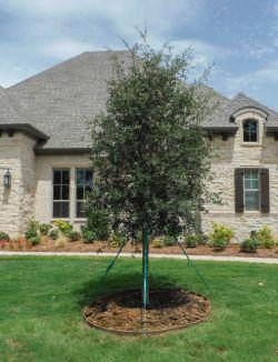 Live Oak Tree planted in a frontyard.