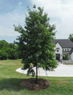 Red Oak tree planted along a driveway by Treeland Nursery.