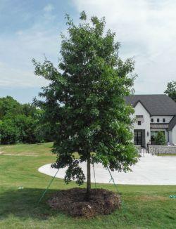 Red Oak tree planted along a driveway by Treeland Nursery.