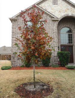 Red Oak tree planted during the Fall in a frontyard.