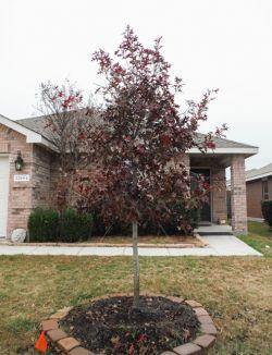 Red Oak tree planted in the Fall by Treeland Nursery.