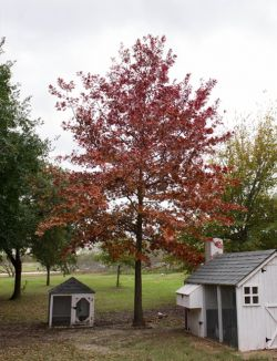 Maturing Red Oak tree planted at Treeland Nursery.