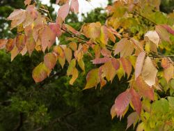 Ash Tree leaves transitioning into Fall color.