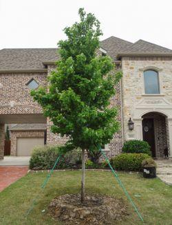 Brandywine Maple tree planted in a frontyard by Treeland Nursery.