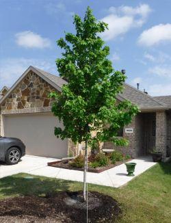 Brandywine Maple planted in a frontyard by Treeland Nursery.