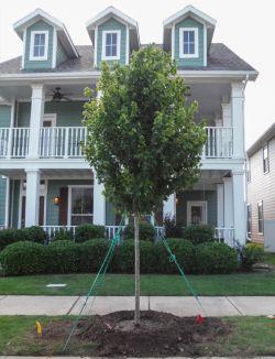 Brandywine Maple trees planted in a frontyard by Treeland Nursery.