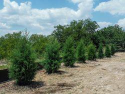 Eastern Red Cedars.