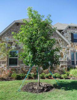 Red Oak tree planted in a frontyard.